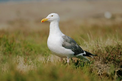 Western Gull (Larus occidentalis)[August; Half Moon Bay, California]
