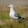 Western Gull (Larus occidentalis)[August; Half Moon Bay, California]