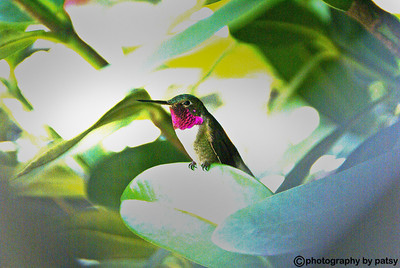 HUMMINGBIRD FLORIDA
