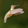HUMMINGBIRDS : 1 gallery with 23 photos
