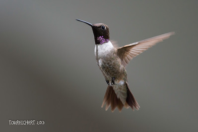 BLACK CHINNED HUMMINGBIRD - ARIZONA