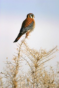 An American Kestrel hunts the scrub of Antelope Island [February; Antelope Island, Salt Lake City, Utah]