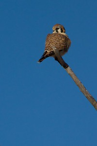 American Kestrel [December; Bosque del Apache National Wildlife Refuge, San Antonio, New Mexico]