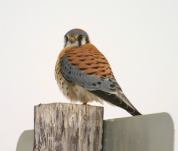 American Kestrel [February; Great Salt Lake, Utah]