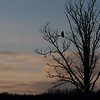 Making for a fine silhouette, this adult Bald Eagle [December; Wrenshall WMA Carlton County, Minnesota]