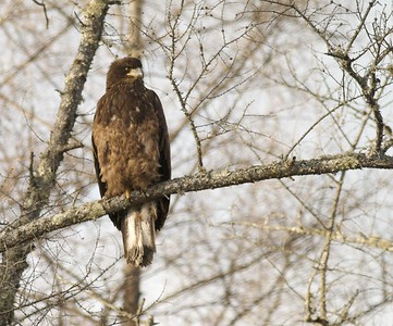 First year Bald Eagle waits for its turn at a deer carcass [December; Sax-Zim Bog, Minnesota]