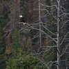 Patience is a virtue when you are a Bald Eagle looking for prey [September; Yellowstone National Park, Wyoming]
