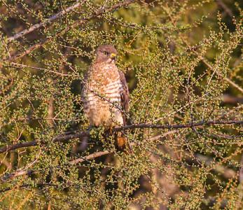 Broad-winged Hawk CR7 Sax-Zim Bog MNIMG_7949