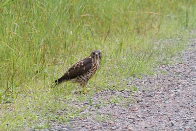 Broad-winged Hawk Owl Avenue Sax-Zim Bog MNIMG_0210