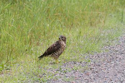 Broad-winged Hawk Owl Avenue Sax-Zim Bog MNIMG_0213