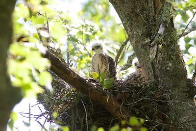 Broad-winged Hawk nest with 2 nestlings Welcome Center Owl Avenue Sax-Zim Bog MN IMG_5137