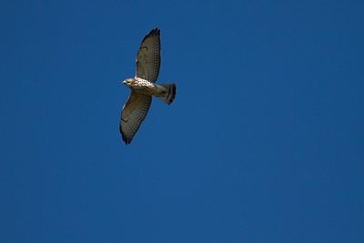 Broad-winged Hawk Hawk Ridge Duluth MN IMG_7521