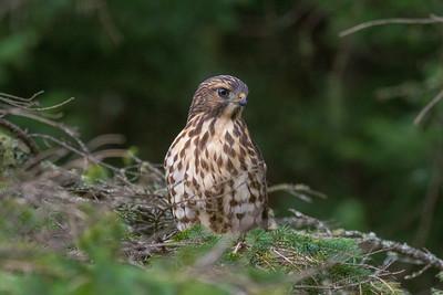 Broad-winged Hawk Owl Avenue Sax-Zim Bog MNIMG_0235