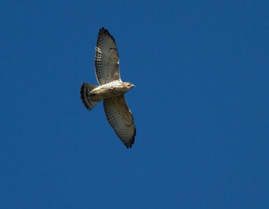 Broad-winged Hawk Hawk Ridge Duluth MN IMG_7533