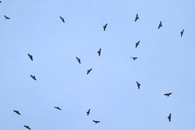 Broad-winged Hawk kettle Hawk Ridge Duluth MN IMG_8716