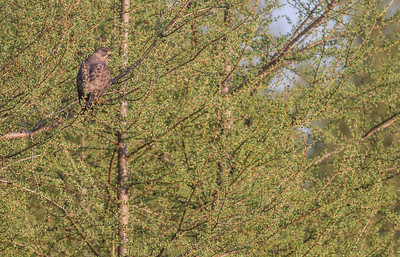 Broad-winged Hawk CR7 Sax-Zim Bog MNIMG_7959