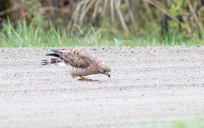 Broad-winged Hawk eating earthworms Sax-Zim Bog MN-07863