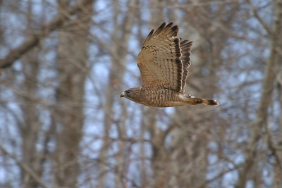 Broad-winged Hawks specialize in reptile and amphibian prey [April; Carlton County, Minnesota]