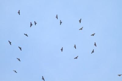 Broad-winged Hawk kettle Hawk Ridge Duluth MN IMG_8712