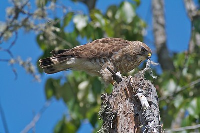 Broad-winged Hawk eating bird [June 2008, Itasca County, Minnesota]