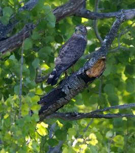 Broad-winged Hawk Sax-Zim Bog MN IMG_4934