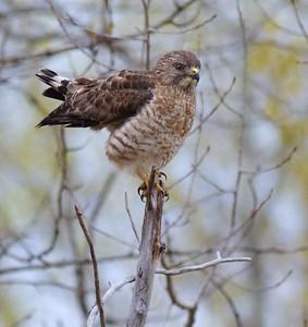 Broad-winged Hawk Owl Avenue Sax-Zim Bog MN IMG_9322