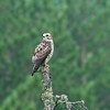 An immature Broad-winged Hawk hunts along the Lima Mountain Road [August; Cook County, Minnesota]