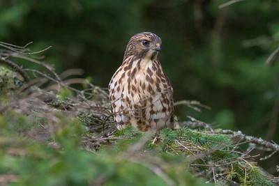 Broad-winged Hawk Owl Avenue Sax-Zim Bog MNIMG_0234