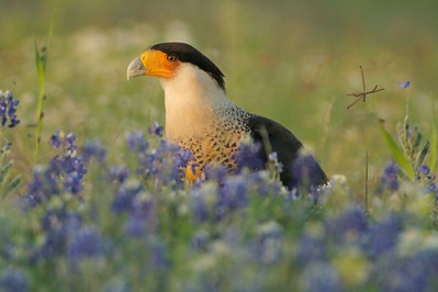 Crested Caracara feeding on dead Bobcat in amongst Texas Bluebonnets [April; Sick Dog Ranch near Alice, Texas]Related to vultures, Crested Caracaras are part of the clean up crew in South Texas  [April; Sick Dog Ranch near Alice, Texas]