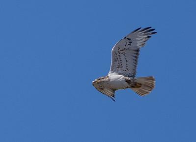 Ferruginous Hawk near nest Stutsman County ND  IMGC7950