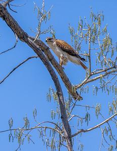Ferruginous Hawk near nest Stutsman County ND  IMGC7891