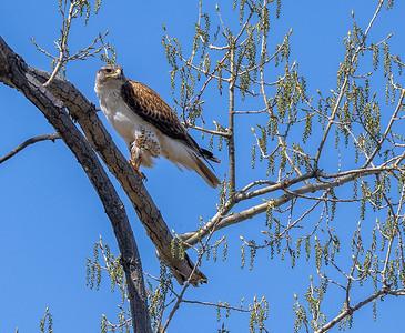 Ferruginous Hawk near nest Stutsman County ND  IMGC7896