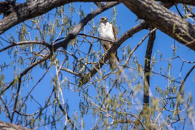 Ferruginous Hawk near nest Stutsman County ND  IMGC7938