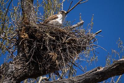 Ferruginous Hawk near nest Stutsman County ND  IMGC7919