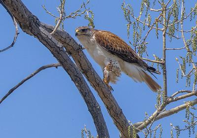Ferruginous Hawk near nest Stutsman County ND  IMGC7889