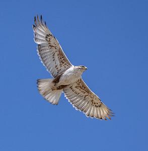 Ferruginous Hawk near nest Stutsman County ND  IMGC7924