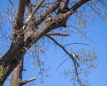 Ferruginous Hawk near nest Stutsman County ND  IMGC7901