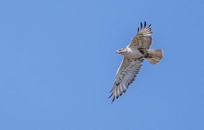 Ferruginous Hawk near nest Stutsman County ND  IMGC7951