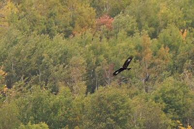 A young Golden Eagle migrating over Hawk Ridge [September; Hawk Ridge, Duluth, Minnesota]