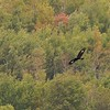 A young Golden Eagle migrating over Hawk Ridge [September; Hawk Ridge, Duluth, Minnesota]