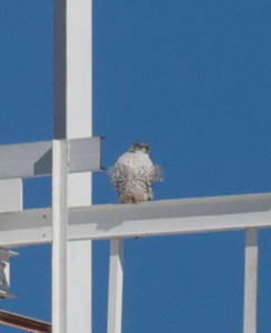 "Oldest recorded Gyrfalcon. First banded by Dave ""Fud"" Evans in Superior in 2003 as an adult."