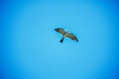 Mississippi Kite Arizona bird SLIDE SCAN 8
