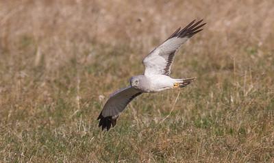 Northern Harrier Sax-Zim Bog MN-7896