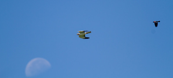 Northern Harrier harassed by Red-winged Blackbird moon near Plover Prairie Minnesota River Valley trip July 23-24 2019-0196