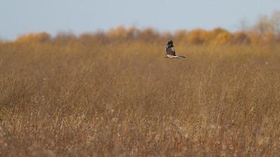Northern Harrier Agassiz National Wildlife Refuge Marshall County MN IMG_0382
