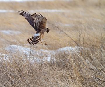 Northern Harrier female North Ottawa Impoundment Grant County MN -3521