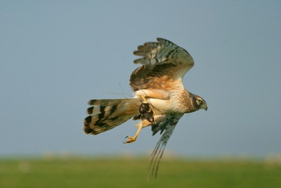 A Northern Harrier has snagged a shrew from a prairie [June; Touch the Sky National Wildlife Refuge; Rock County, Minnesota]