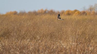 Northern Harrier Agassiz National Wildlife Refuge Marshall County MN-0382
