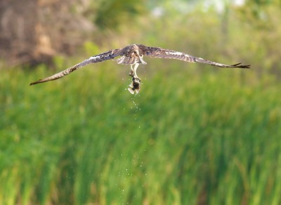 Osprey Krenmueller Farms Grandma Trudy's Ranch Lower Rio Grande Valley TX TX-_0896