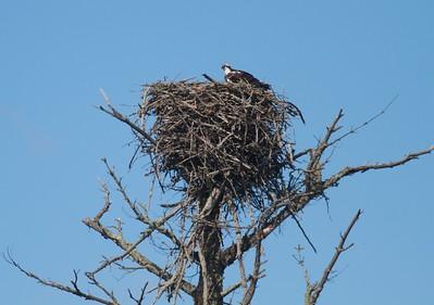 Osprey nest US2 MNIMG_0065 (1)